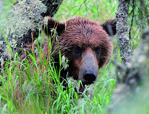 orso cacciare a palla
