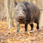 Umbria: caccia al cinghiale